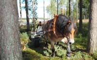 4007 skogsdag ny häst