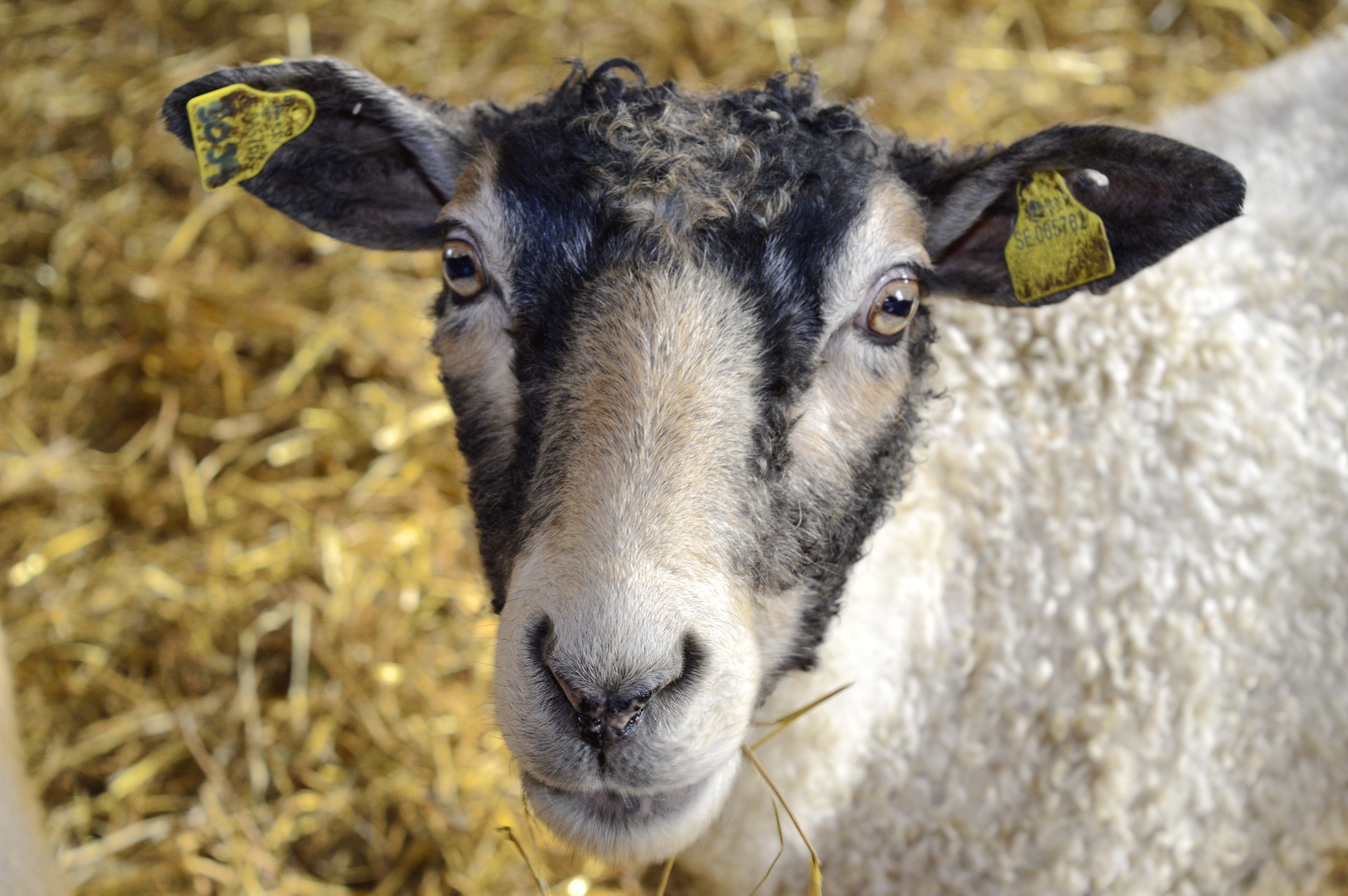märkning av får