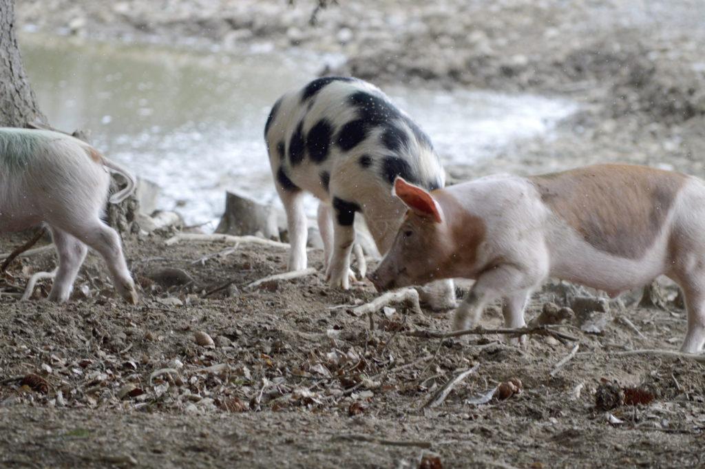 grisar äter upp sina kultingar