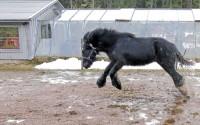 Skönt att få sträcka ut efter en hel natt i stallet, tycks tvååriga tinkerhästen Duffy tänka