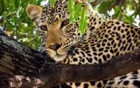 2124 leopard