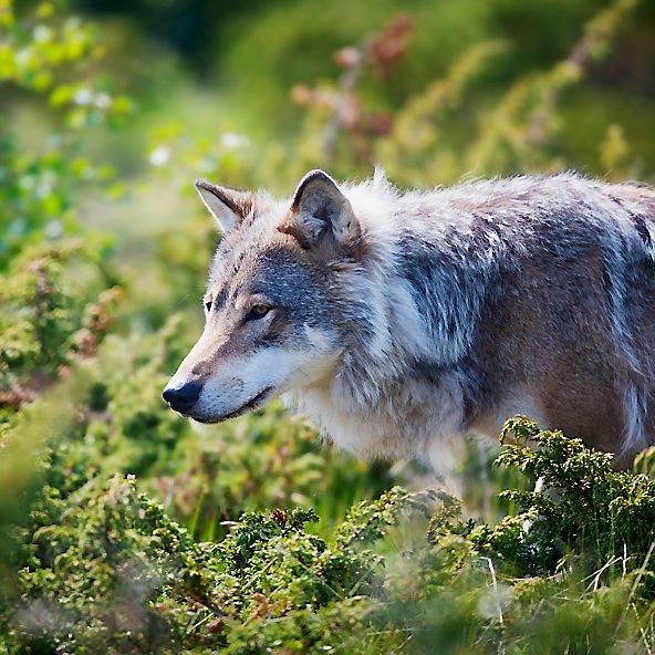 Wolf in a green field