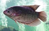 nile or tilapia fish in water tank