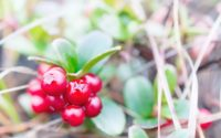 Small shrub with berries ripe cranberries. Polar tundra, deep autumn.