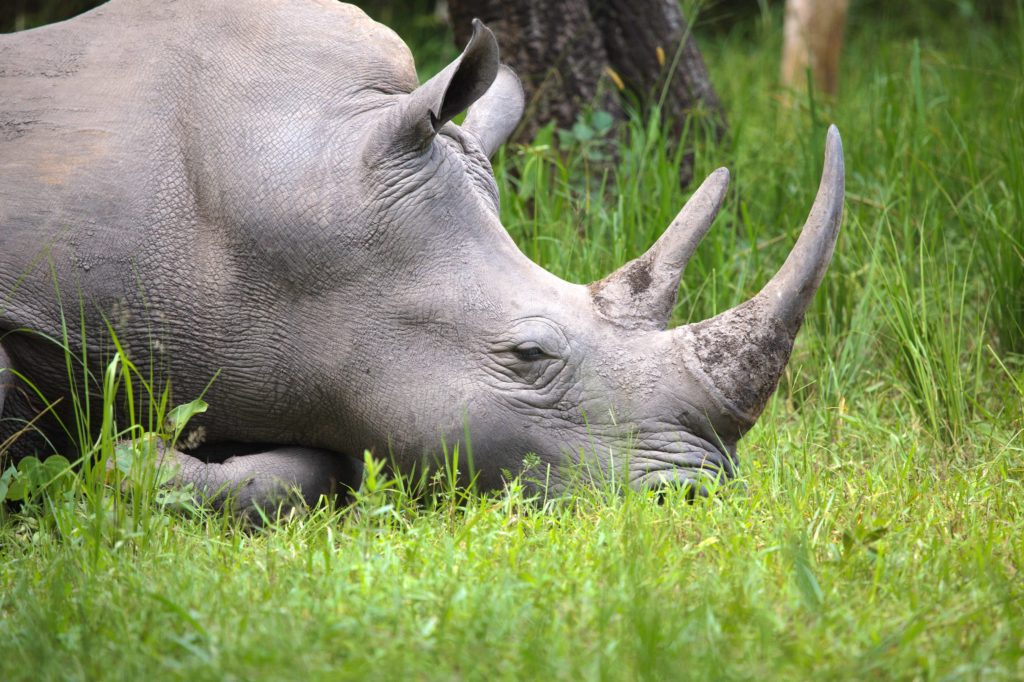 Endangered White Female Rhino Resting in the grass