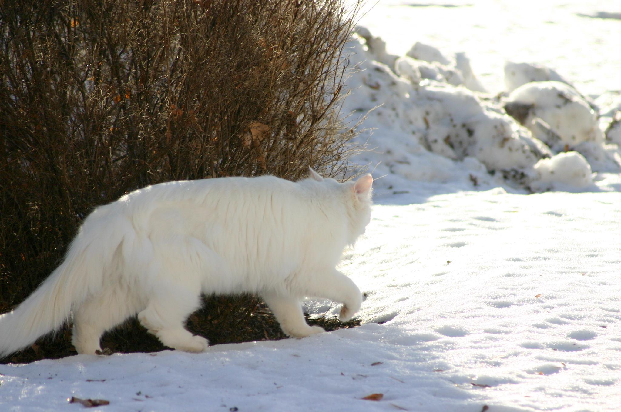 Mitt Västmanland - Vit katt i snön