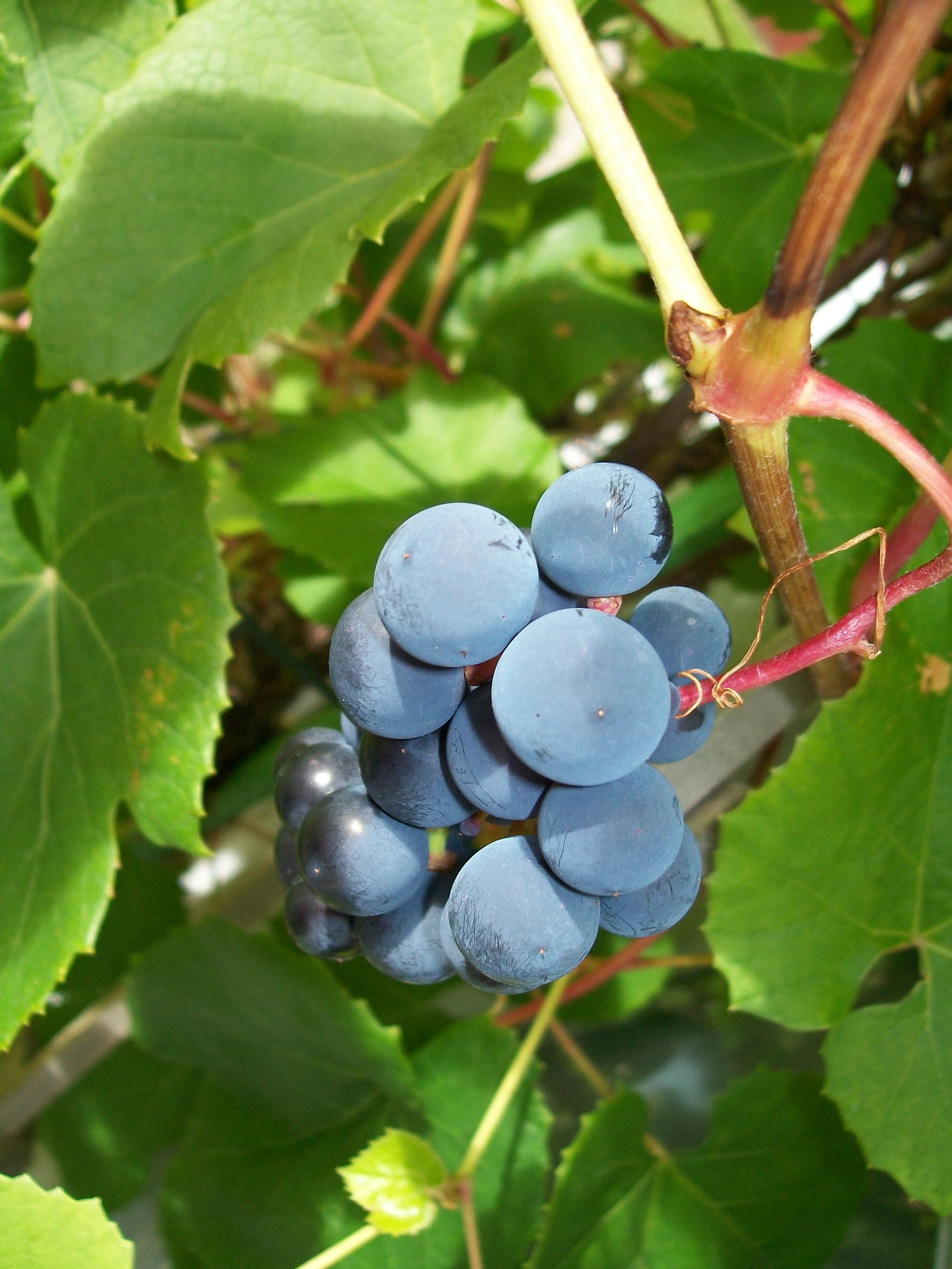 Mitt Västmanland - Härliga druvor