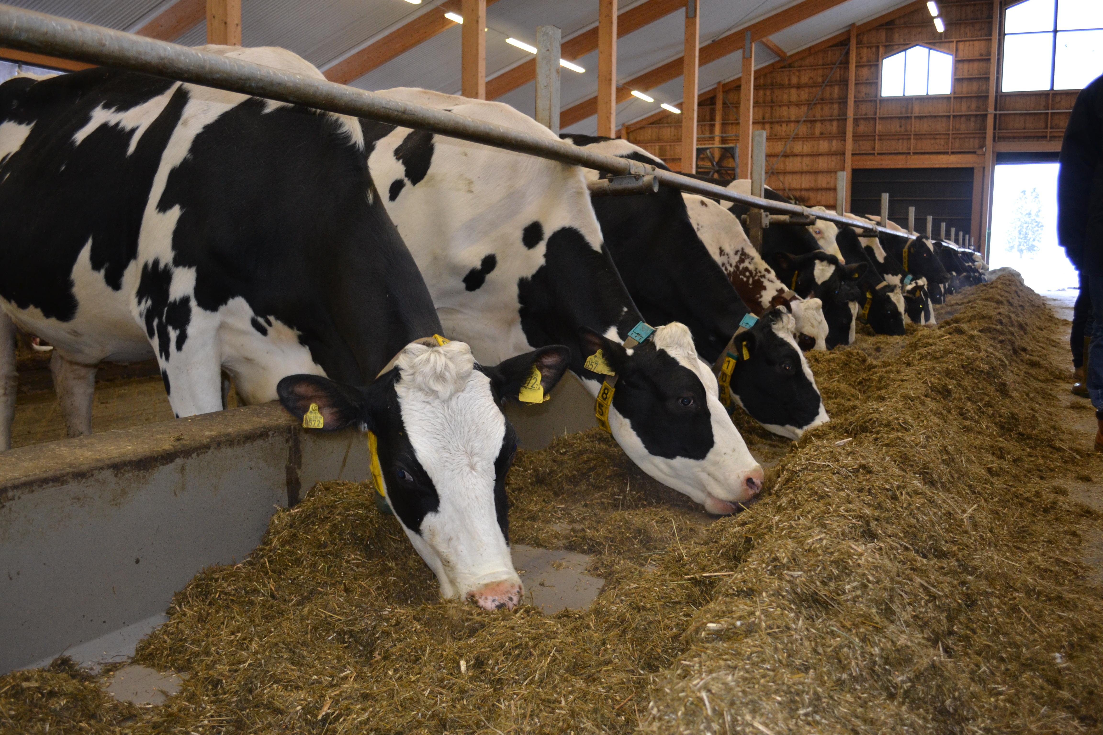 Kor och kamfersalva